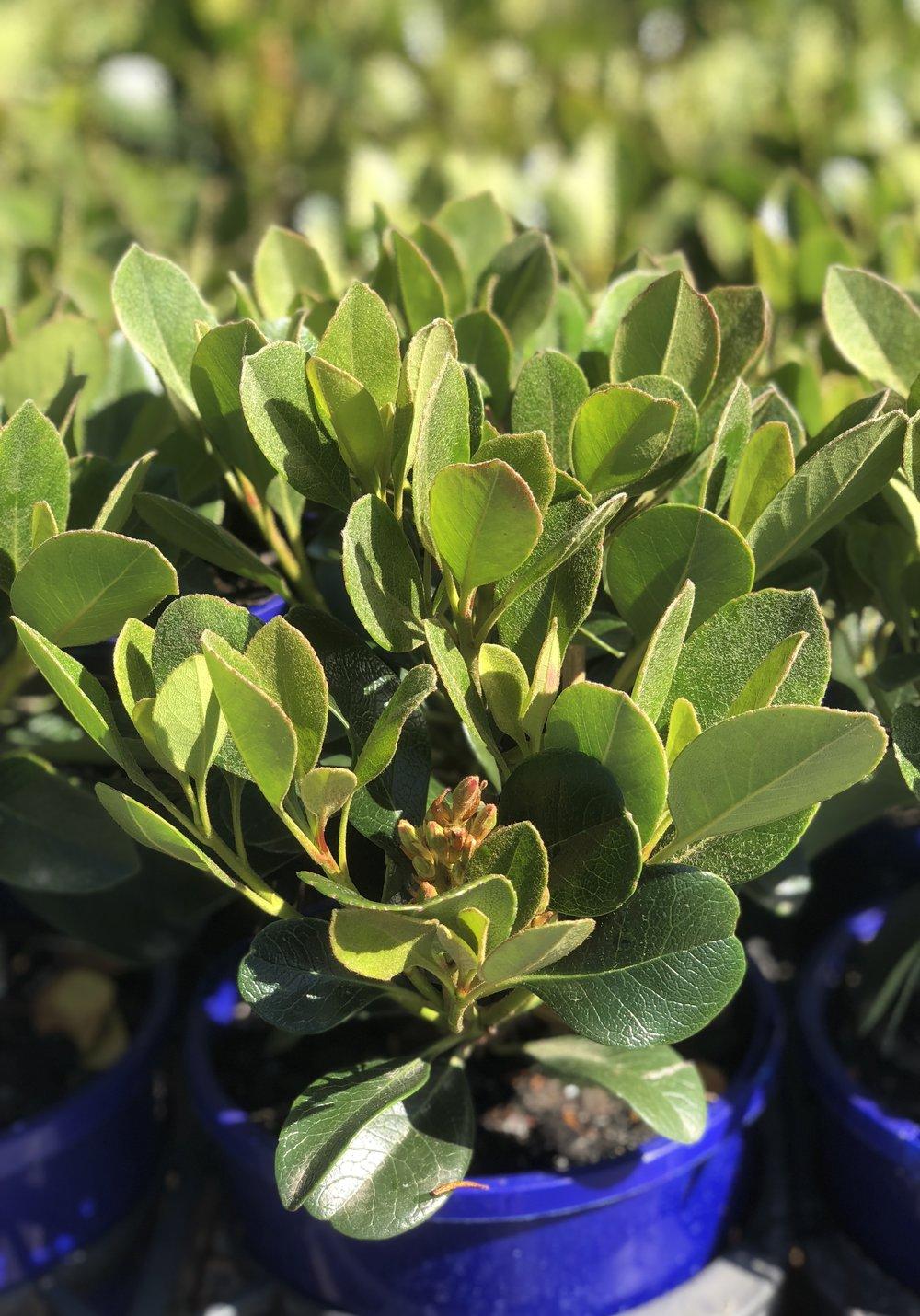 Rhaphiolepis Oriental Pearl.
