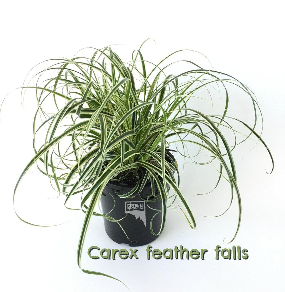 Carex feather f CropWM alls .jpg