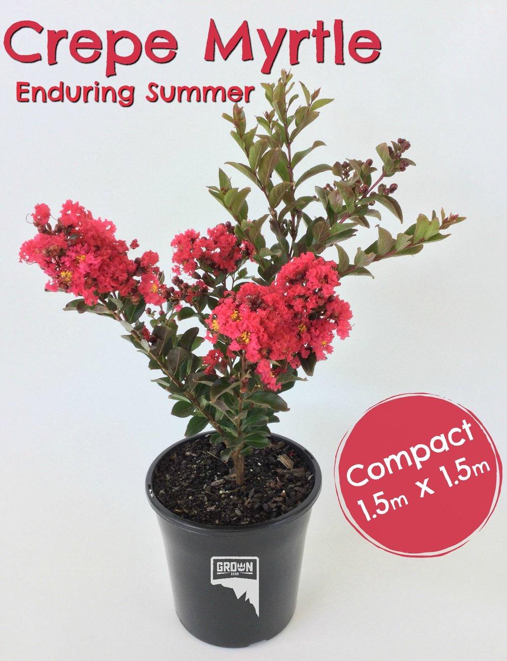 Enduring Summer Red