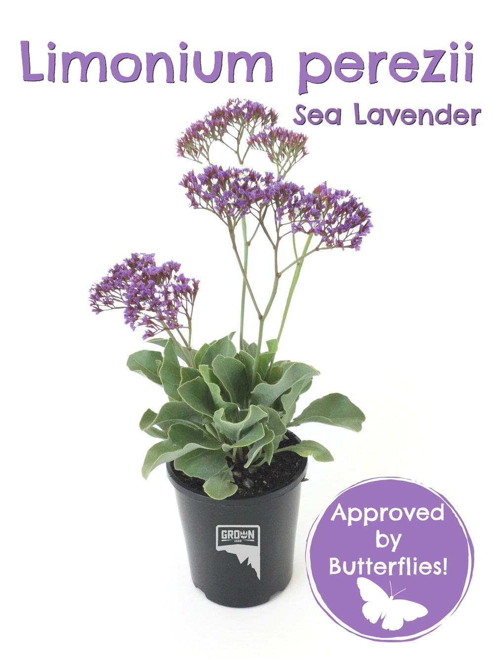 Limonium butterfly approved.jpg