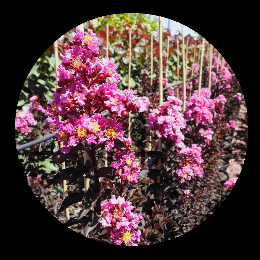 lavender Lace DD.png