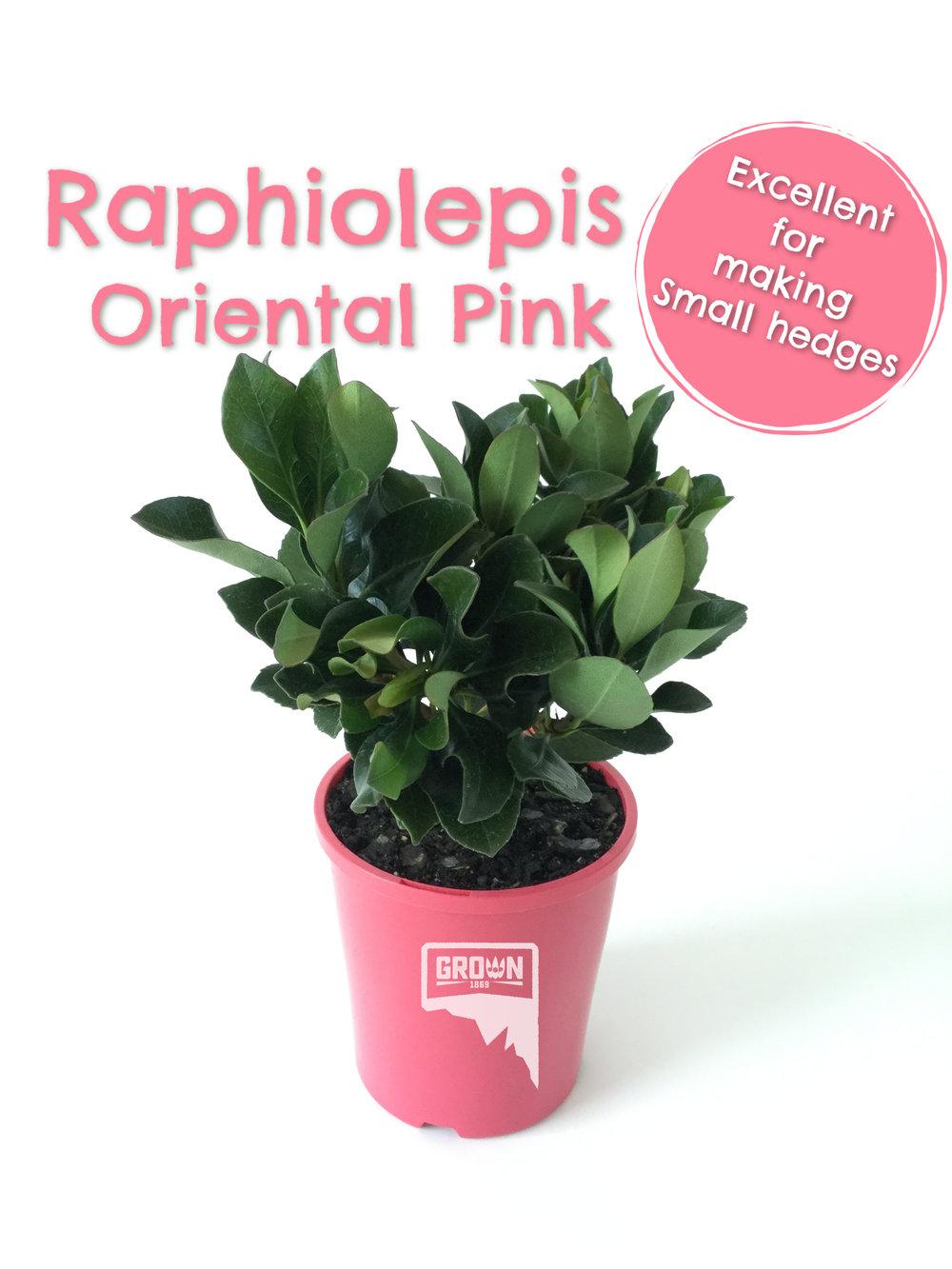 Raphiolepis Oriental Pink.jpg