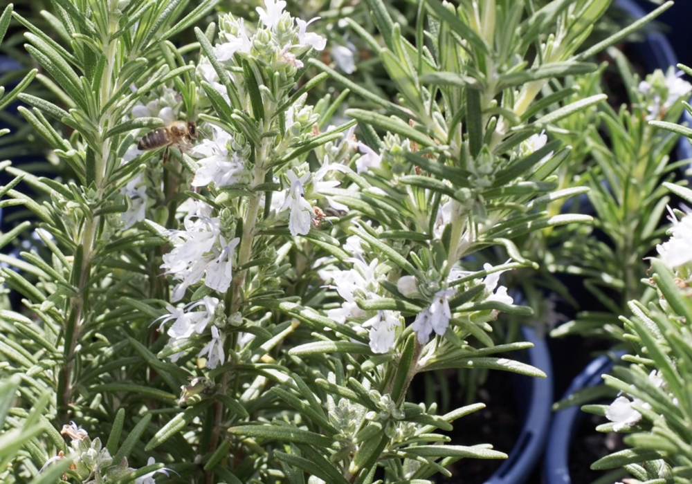 Gallipoli Rosemary