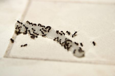 """Odorous House Ant - Size: 1/16"""" to 1/8"""""""
