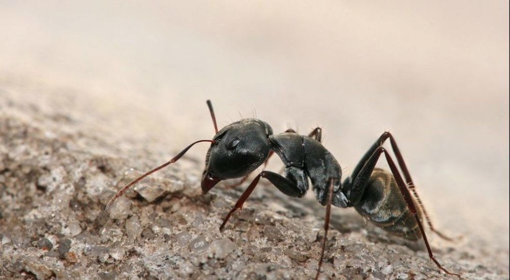 """Pavement Ants - Size: Workers are 1/16"""" to 1/8"""""""