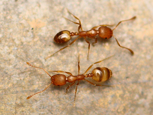 """Pharaoh Ants - Size: Workers are 1/16"""""""