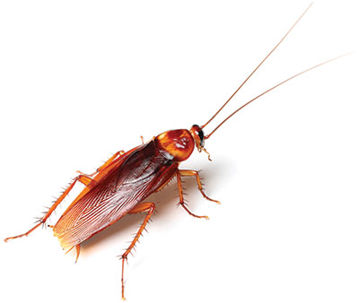 "American Cockroach - Size: 1"" to 2"""