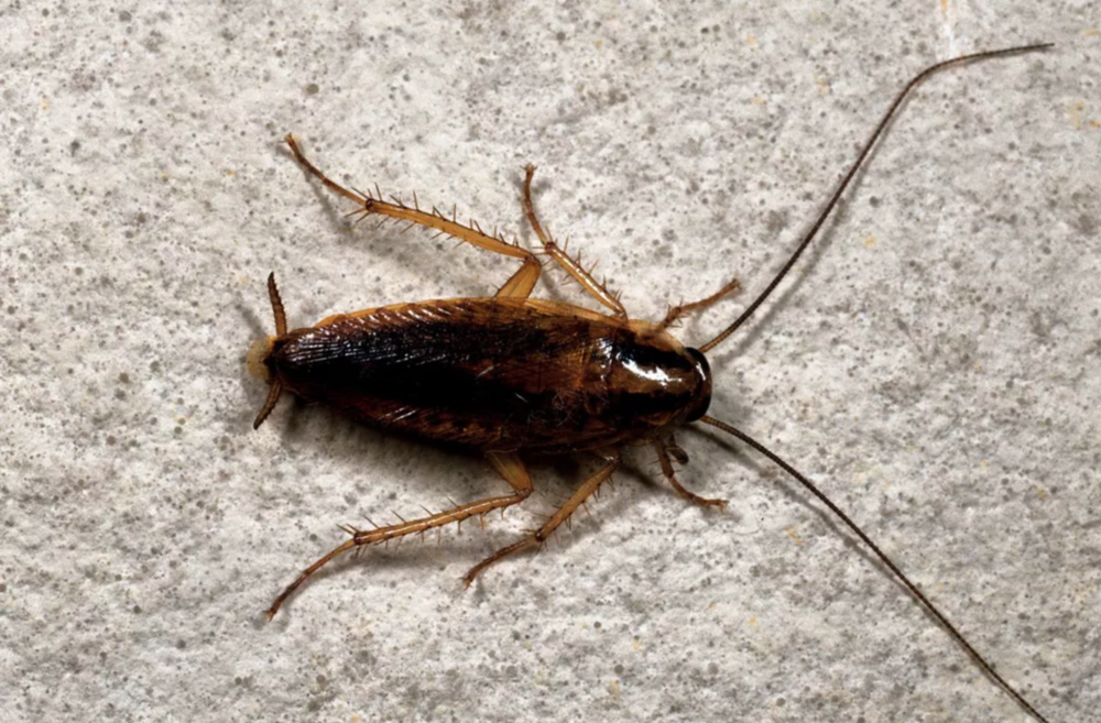 "German Cockroach - Size: 1/2"" in length"
