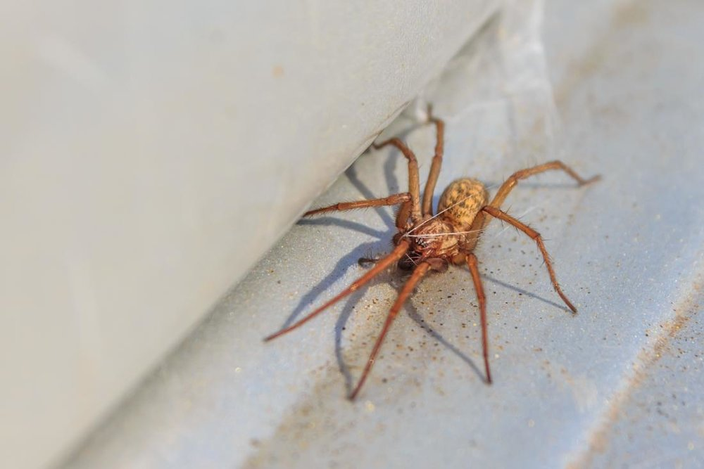 Hobo spider - Size: 1/2""
