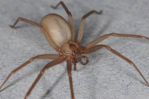 "Brown Recluse spider - Size: 1/4"" to 1/2"""