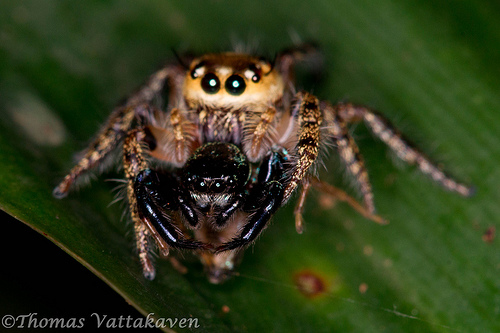 "Jumping Spider - Size: 1/8"" to 3/4"""
