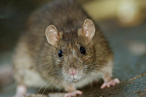 """House Mouse - Size: 2 3/4"""" to 4"""""""