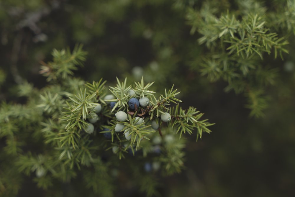 1477_Juniper Berries_Nele Tullus.jpg