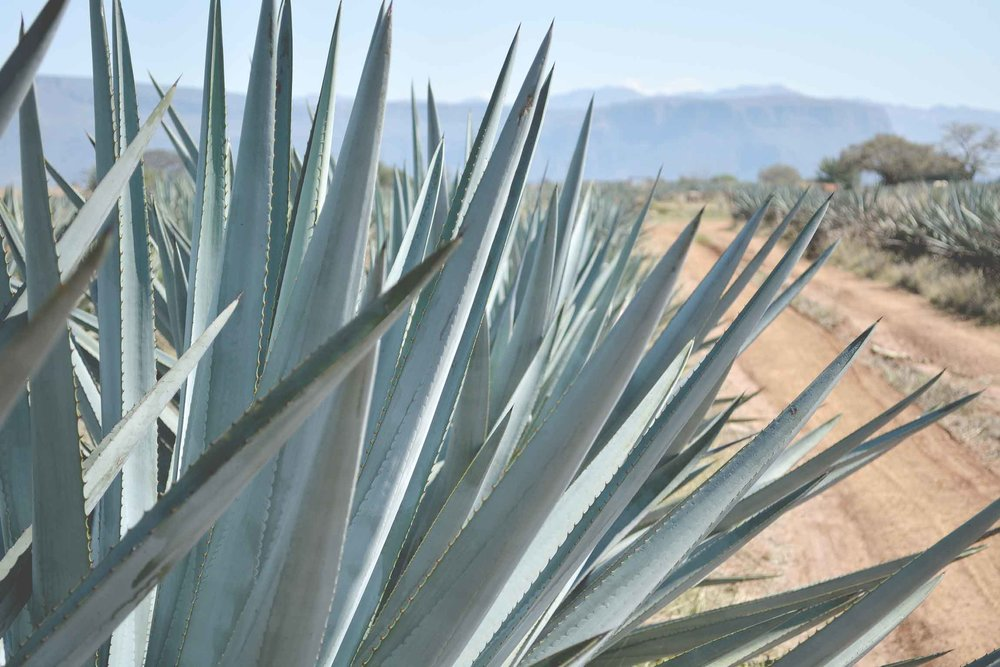abreojos_agave_jalisco_tequila.jpg