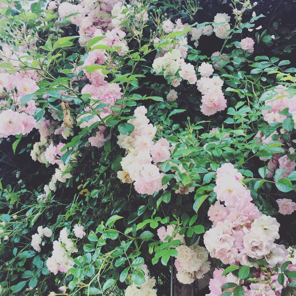Photo of wild roses by Molly Hilgenberg