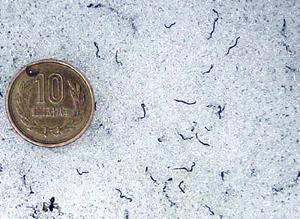iceworm1.jpg