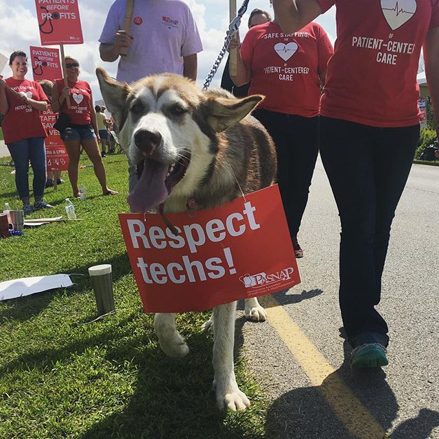 Elmer joined the picket line to help demand some respect for the Techs and LPNs at Armstrong County Memorial Hospital. 🐶 #uniondogs #strikedogs #caninesolidarity