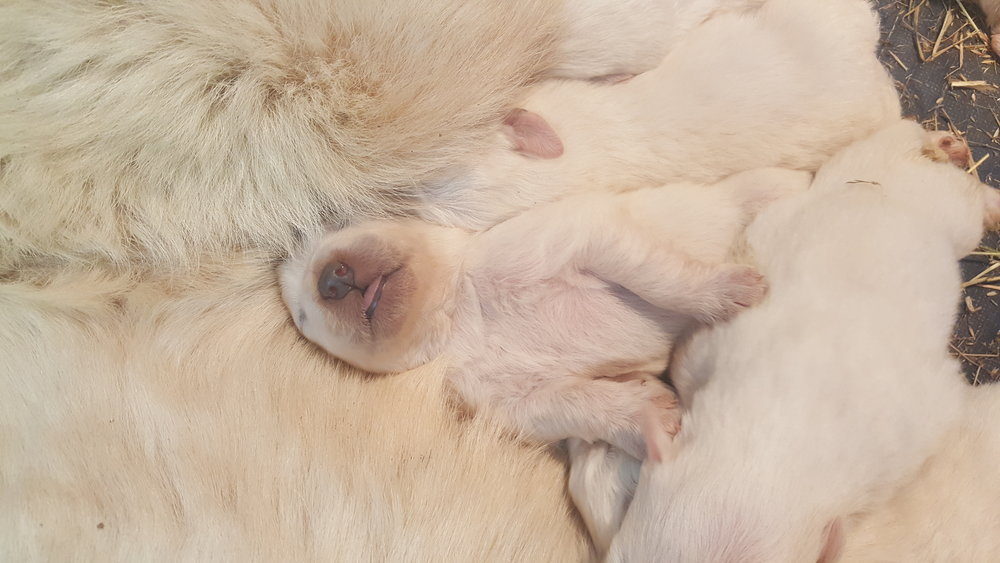 Milk coma when one week old.