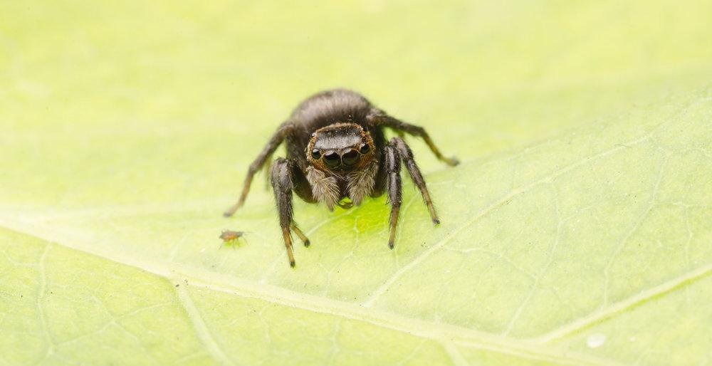 Jumping-Spider.jpg