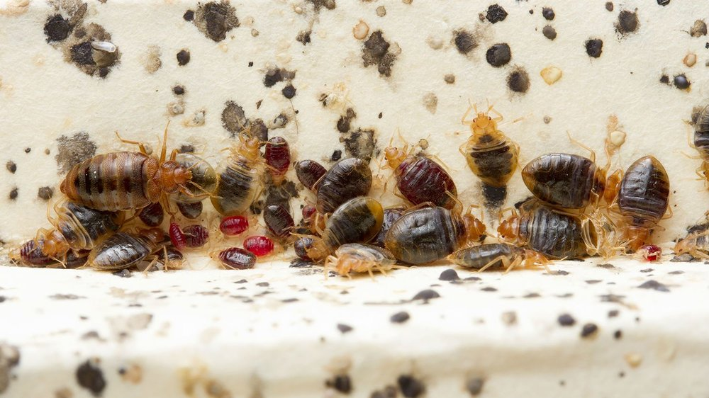 Bed Bugs G Green Inc Pest Control Services