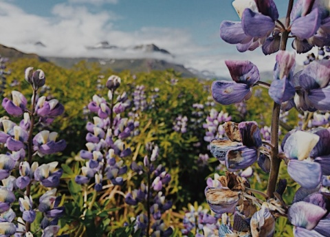 Wildflowers blooming outside our cabin in a fjord on the Eastern coast of the country.