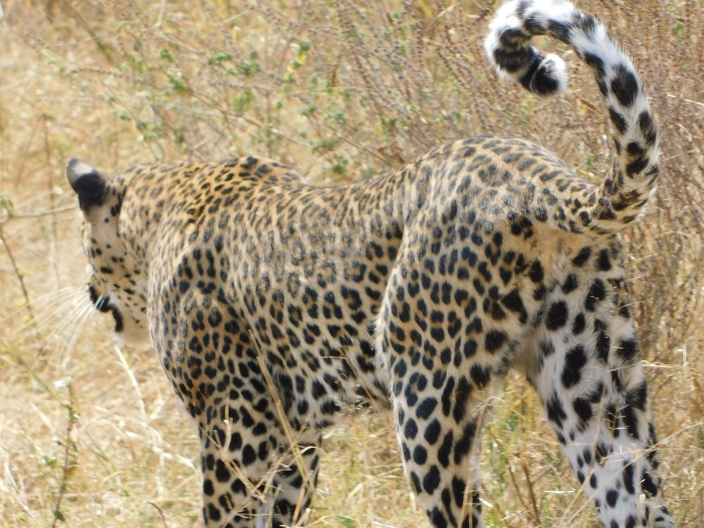 A leopard that came frighteningly close to our truck.