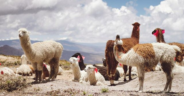 """Not only do alpacas produce some of the softest, highest-quality fibers in the world, they are also the most eco-friendly livestock in the world 😲 . Click on over to our site & visit our """"Why Alpaca?"""" page to get the deets! . . . . . #ecofriendly #sustainable #funfact #alpaca #wool #gogreen #ecoconcious #home #ecohome #naturalisbetter #fiberartist #fiberart #shopsmall #textileartist #textil #maker #creative #makerlife #ourmakerlife #crochet #yarnlove #fiberlove"""