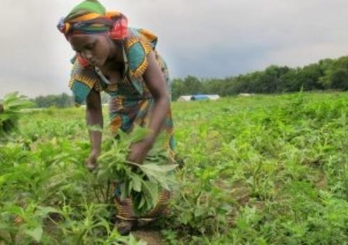 Fabiola Harvesting Green Amaranth at Flats Mentor Farm