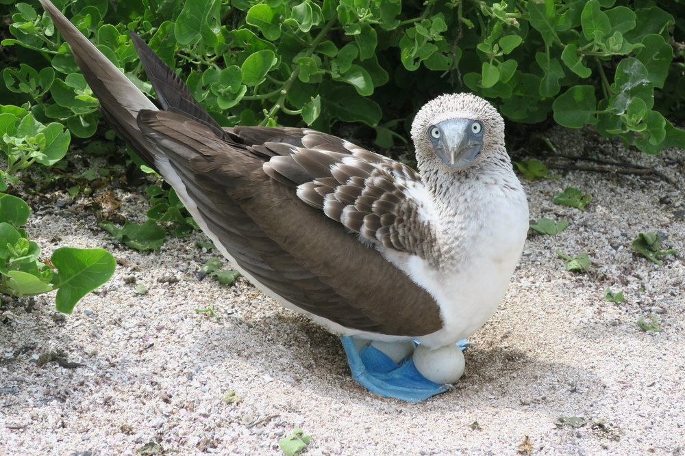 Galapagos Blue Footed Booby Nest.JPG