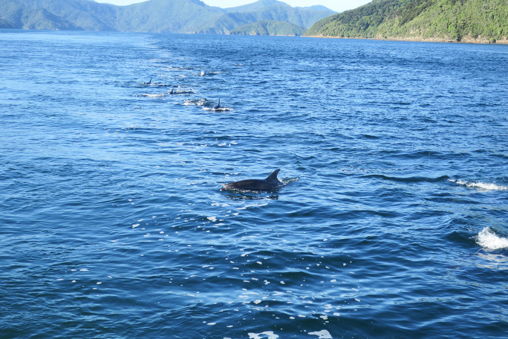 NZ Dolphins Coming to Play.JPG