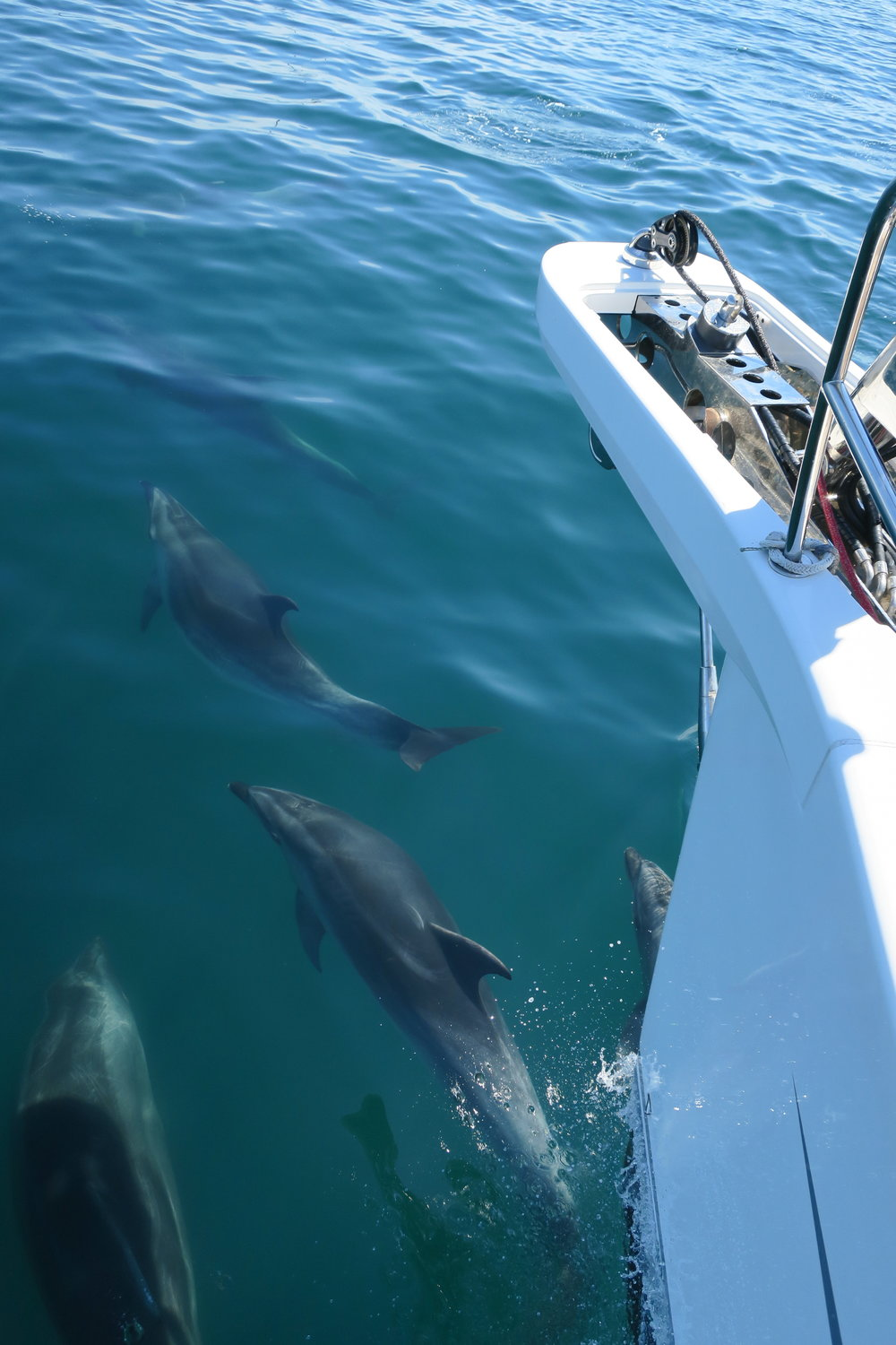 NZ Dolphins on the Bow 1.JPG