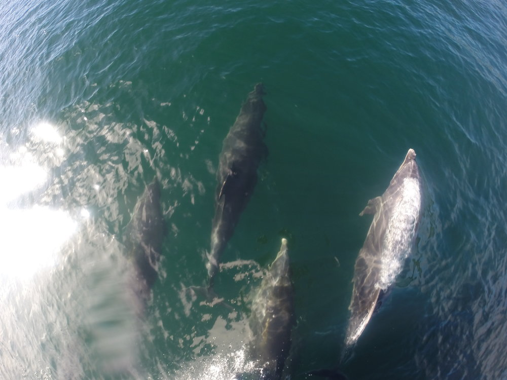 NZ Dolphins on the Bow 3.JPG