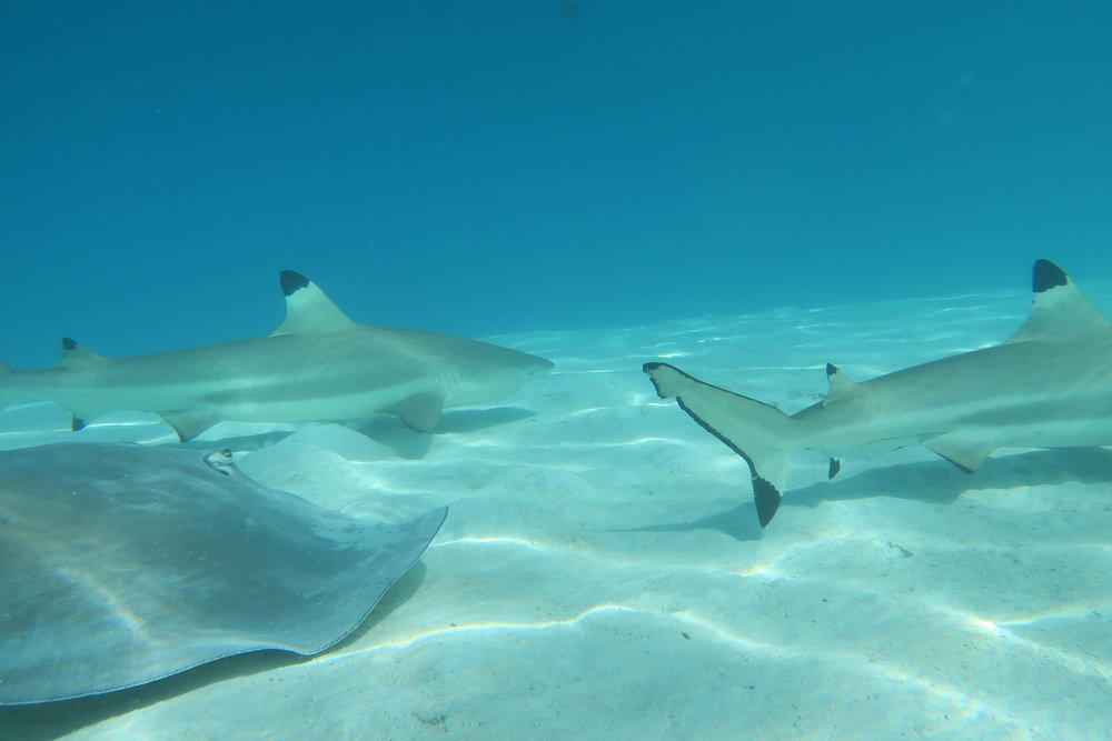 Moorea-Stingray-and-Sharks.jpg
