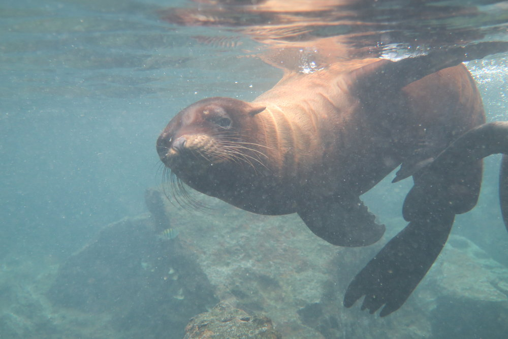 Galapagos Sea Lion Pup 5.JPG