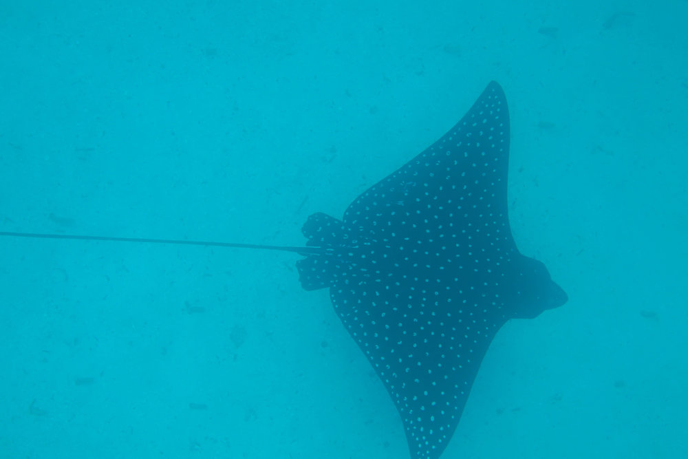 Galapagos-Eagle-Ray.jpg