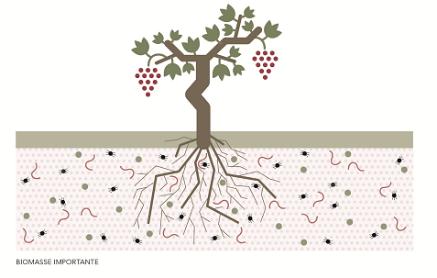 """La vigne dans un sol bien drainé, éventuellement enherbé, épargné par les traitements phytosanitaires invasifs va développer une """"vie"""", une microfaune et flore tout à fait considérable, une environnement propice à l'enracinement grâce auquel le pied de vigne puisera mieux dans le sol, les minéraux et les composés azotés, notamment avec, pur résultat in fine, des vins reflétant plus fidèlement les caractéristiques subtile de leur terroir…"""