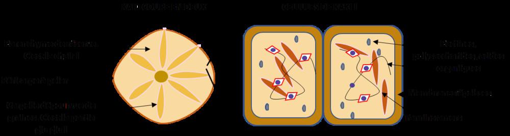 La micro-structure du kaki explique plein de choses : son amertume lorsqu'il n'est pas mur, sa fermeté également (membranes cellulaires épaisses) et donc sa capacité à cuire…
