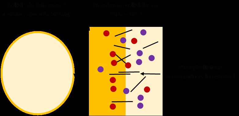 Eh voilà : après quelques jours de conservation, les phospholipides des membranes cellulaires sont dénaturés et ne jouent plus leur rôle : dès que vous cuirez le foie, la graisse s'échapera, c'est certain ! En fait, vous n'y êtes pour rien du tout : ratez donc la recette l'esprit léger.