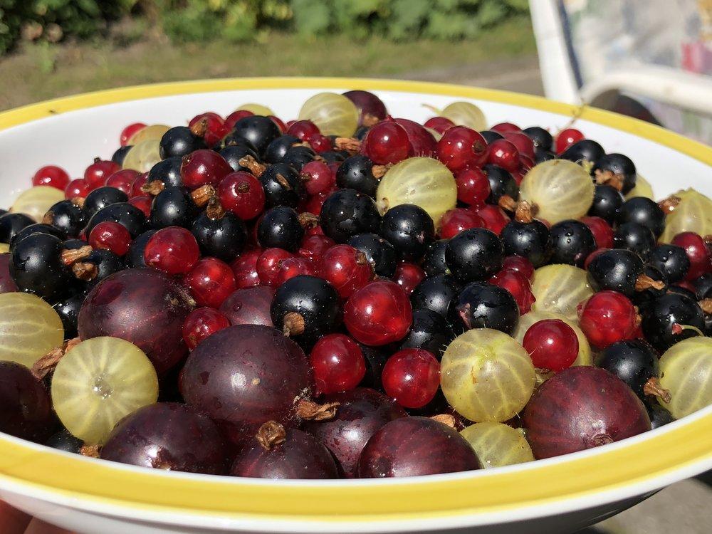 summer berries in the Schrebergarten (city garden) in Hamburg