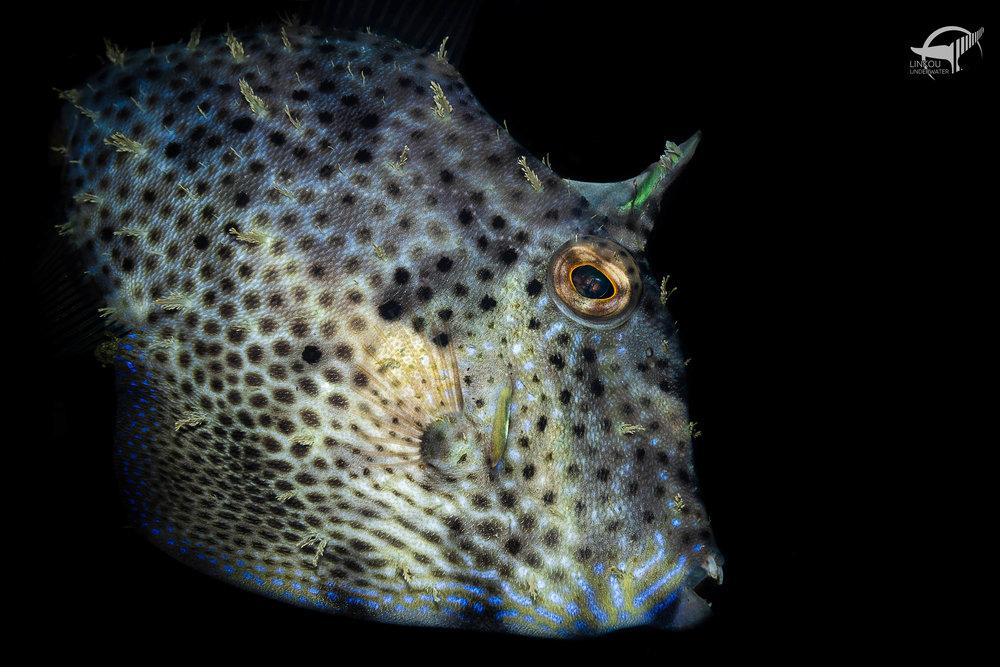 Pseudomonacanthus macrurus