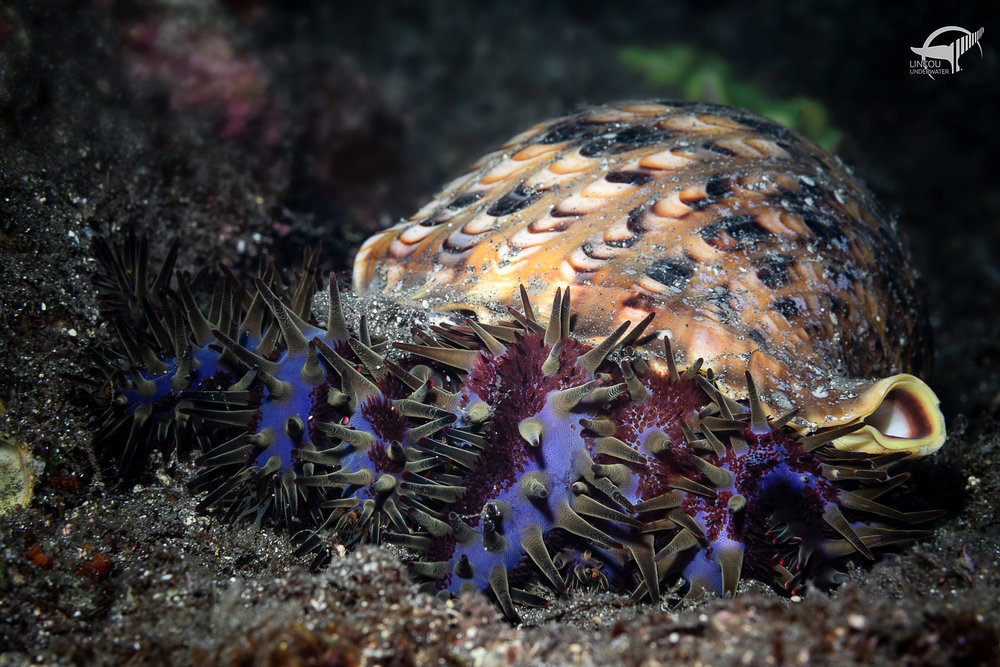 Acanthaster & Chariona tritonis