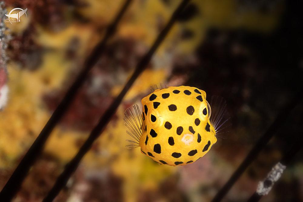 Ostracion cubicus (juvenile)