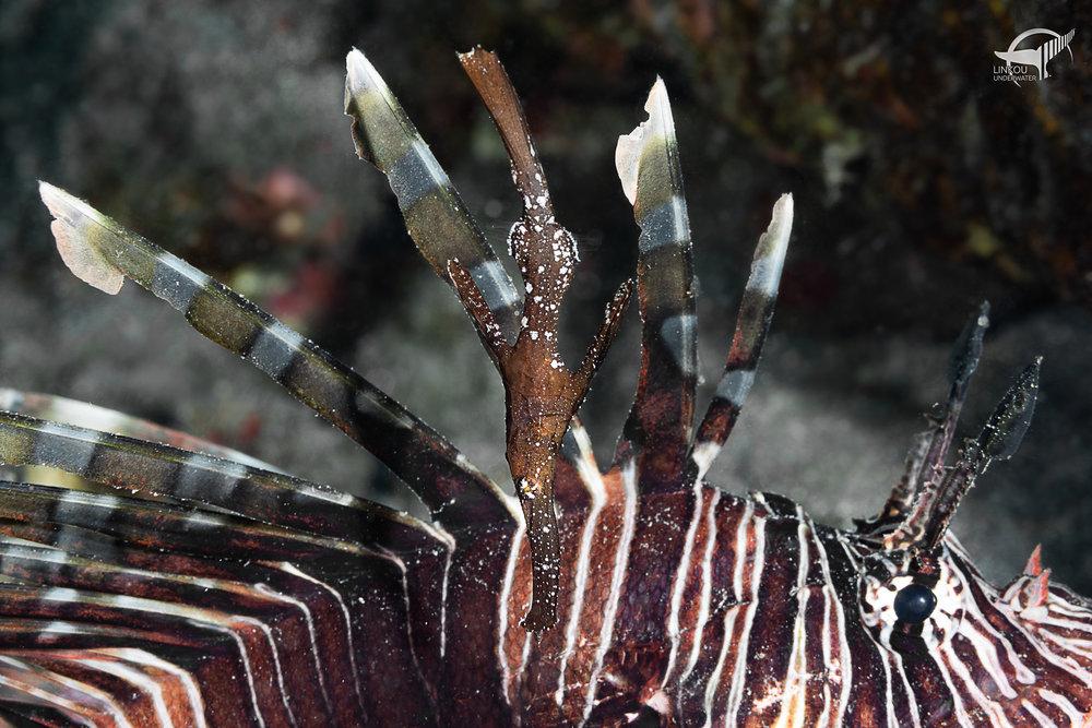 Solenostomus cyanopterus