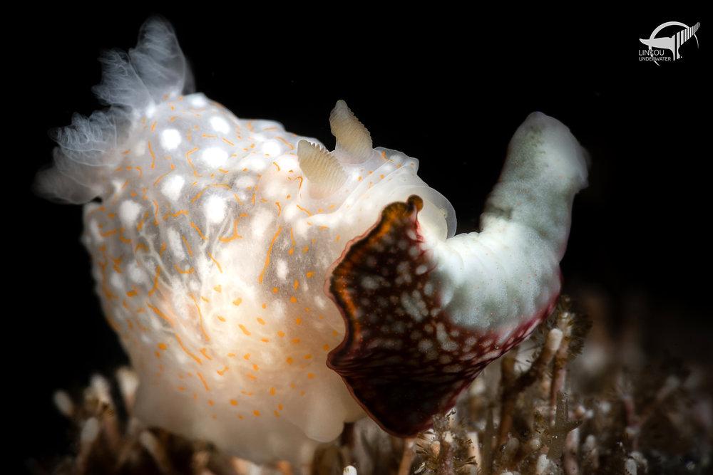 Gymnodoris okinawae