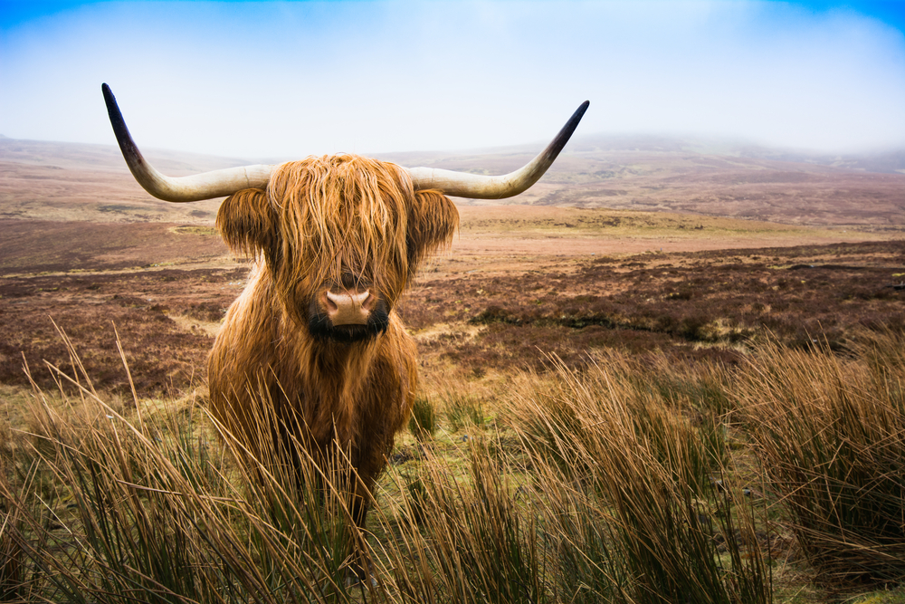 Well hello there highland cow