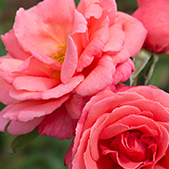 Rose Extract  Contains gentianin as well as tannin compounds, which have a toning effect on the skin – promoting firmness.