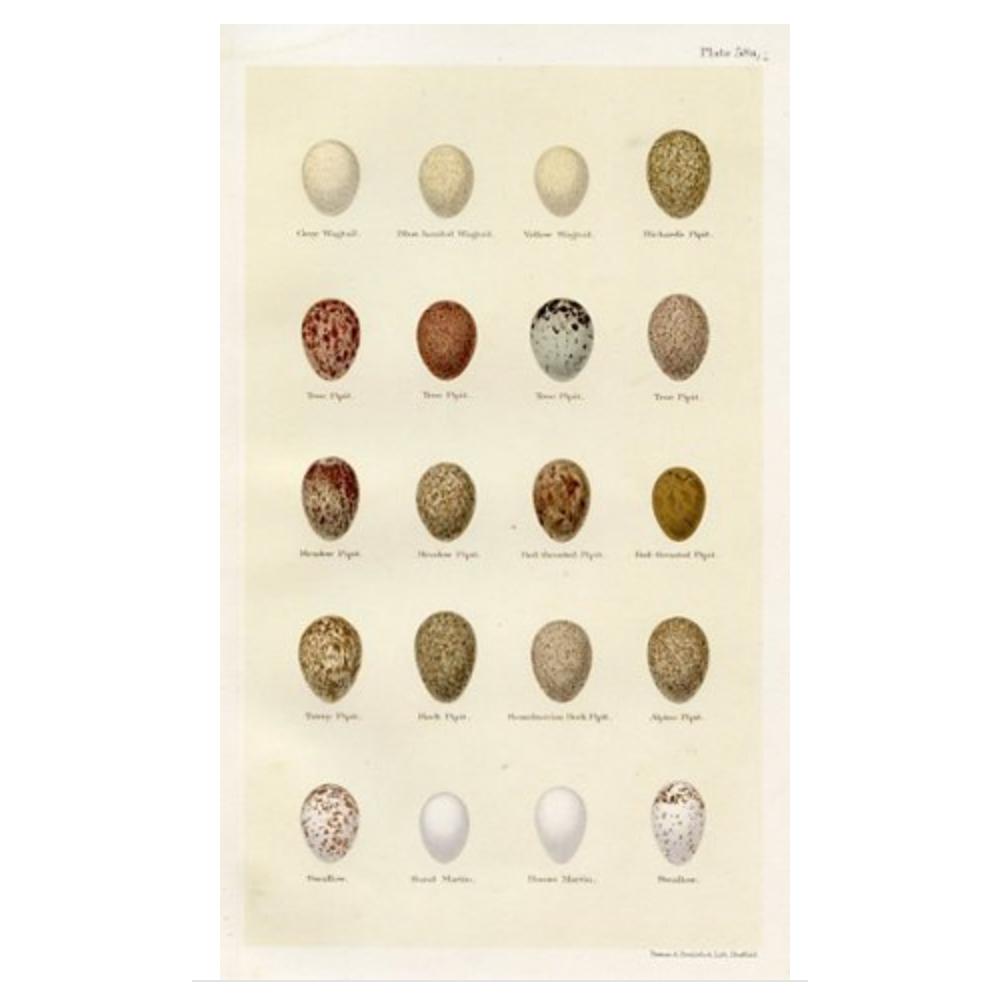 19th-C. Bird Egg Print $99