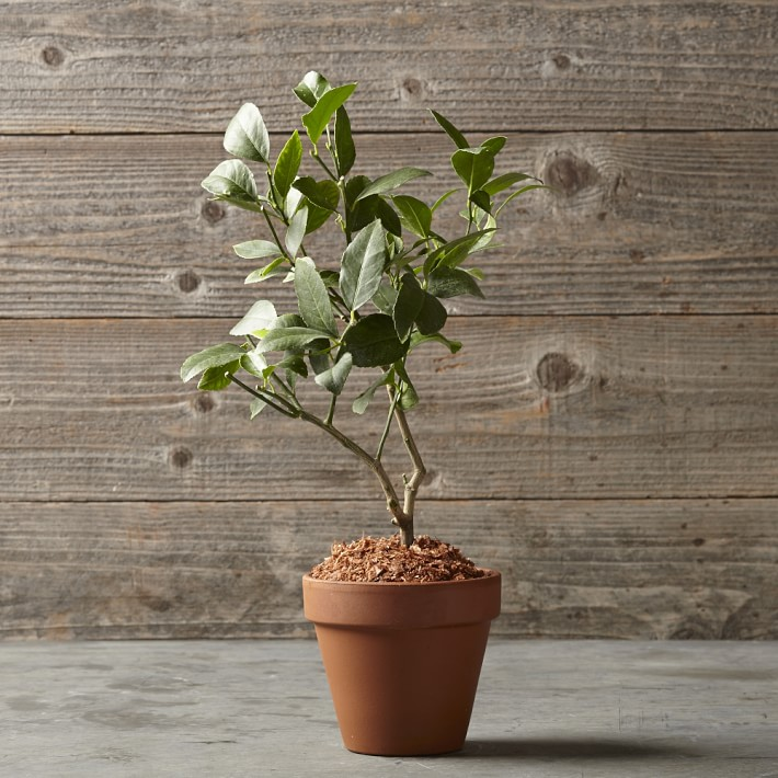 Lemon Tree in Terra-Cotta Pot, $69.95