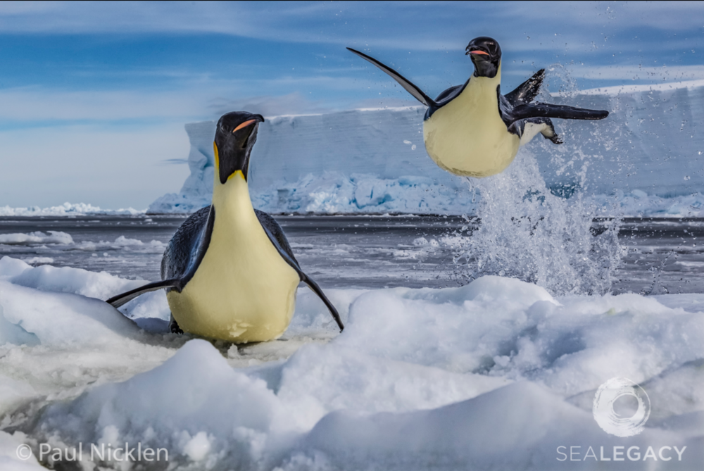 Paul Nicklen, Flight of the Penguin  Dye Sublimation Print on Metal, 40x60 in.