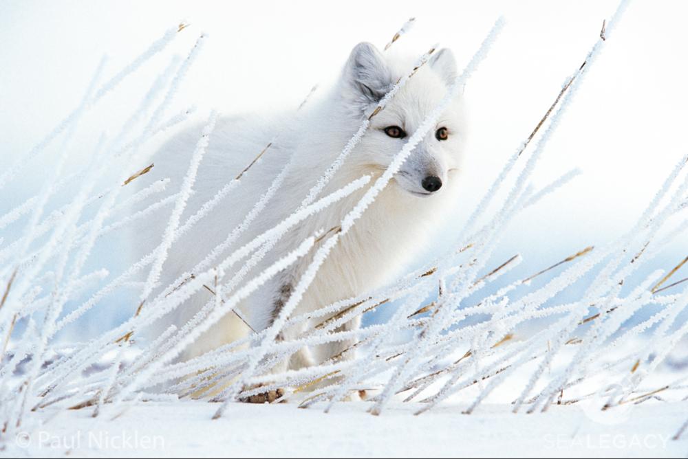 Paul Nicklen, Arctic Fox  Archival Pigment Print, 20x30 in.